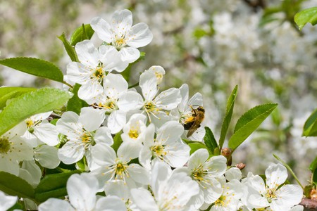 Bee on the flowers of cherry collects nectar photo