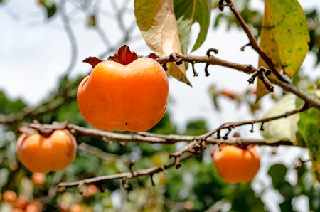 A Persimmon Fruit on the Tree in a Garden.