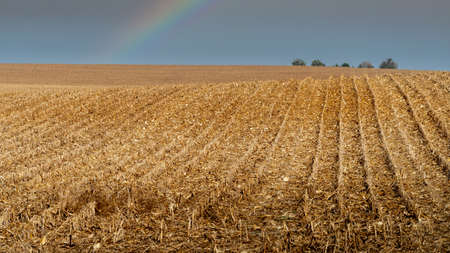 Rural farm field with rows of harvested corn stalks going in to distance over rolling hills with rainbow and a couple of trees at horizon on cloudy day