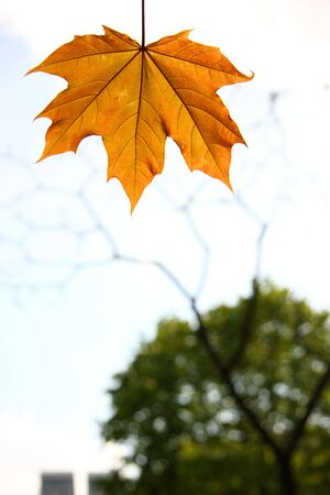 Orange maple leaf on sky background with silhouette of tree photo