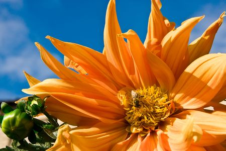 georgina: Beautiful background with orange georgina  Stock Photo