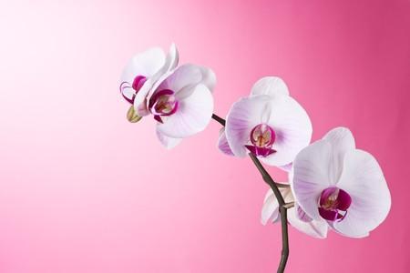 蘭コチョウラン ピンクの分離