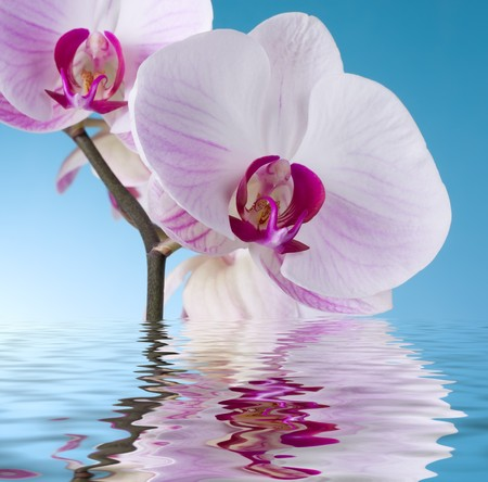 Moth Orchid isolated on Blue photo