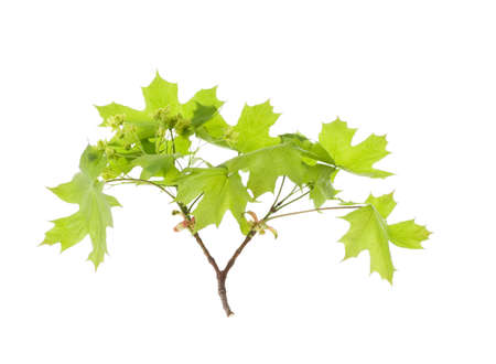 Spring maple leaves isolated over white photo
