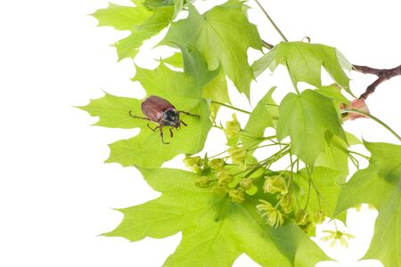 May beetle sitting on young maple leaves isolated over white photo