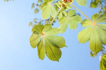 Spring Chestnut tree leaves against sky photo