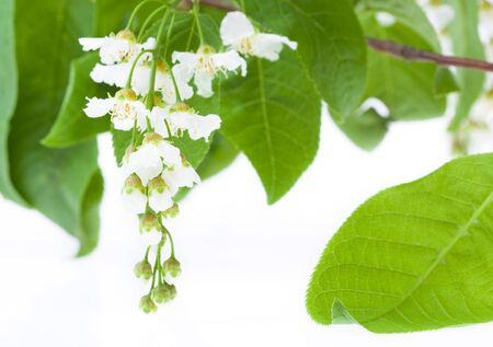 Spring Bird Cherry Tree flowers isolated over white photo