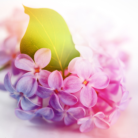 Lilac flowers in spring photo