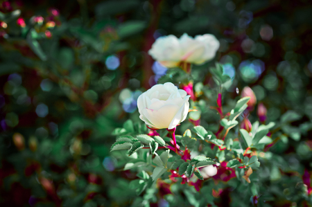colorize: Beautiful roses in the garden