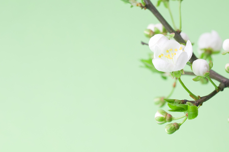 apple blossom: White spring flowers on tree