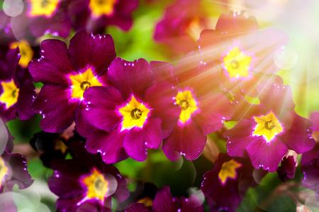 primula: Primula. Floral background with bokeh