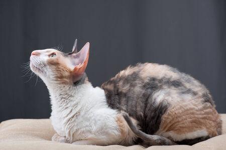 cornish rex: Cornish Rex Cat