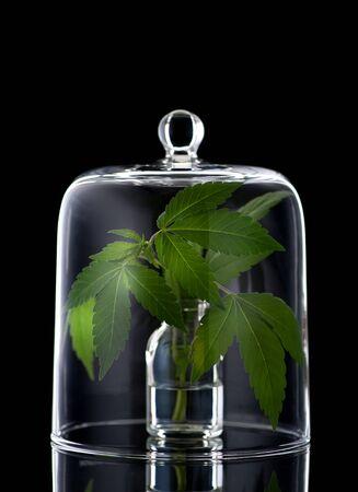 hanf: Hanfblätter Marihuana Lizenzfreie Bilder