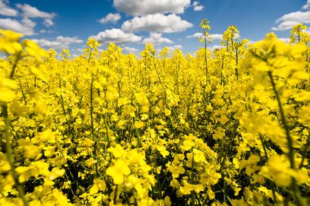 rapeseed: rapeseed field