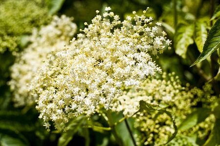 catarrh: Elderberry flower in nature