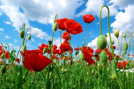 Poppys and sky. Nature composition. photo