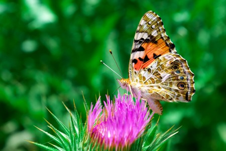 Butterflyl collects pollen. Elment of nature composition. photo