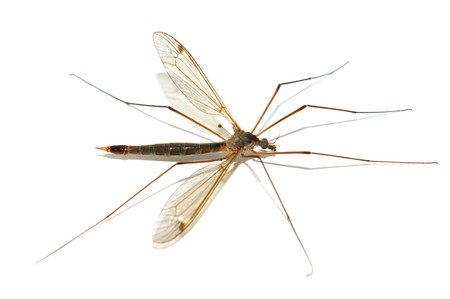 Isolated mosquito. Element of design. Stock Photo - 7576588
