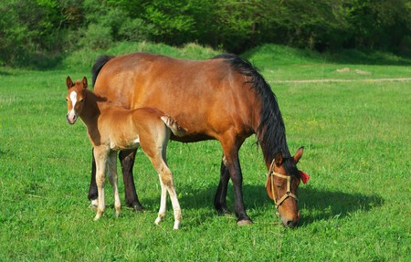 Foal and mother. Rural scene. photo