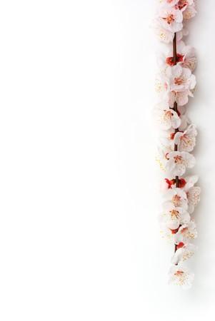 cherry branch: Isolated sakura. Element of design.