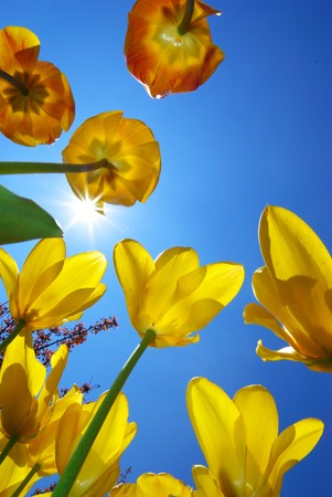 Tulips and deep blue sky. Spring composition. photo