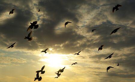 paloma: Aves en el cielo. Elemento de dise�o.  Foto de archivo