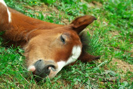 Foal is sleeping on the ground. photo