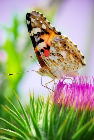 beautifu: Beautifu moth on rose flower. Nature composition.