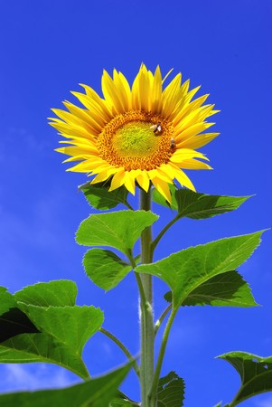 Big sunflower and sky. Nature composition. photo
