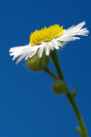 daisywheel: Daisywheel on sky background. Nature composition.