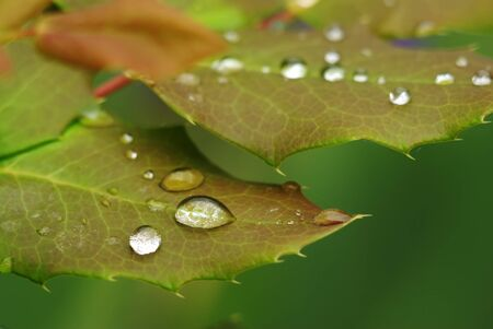 Rose leaf in dew. Composition of nature. photo