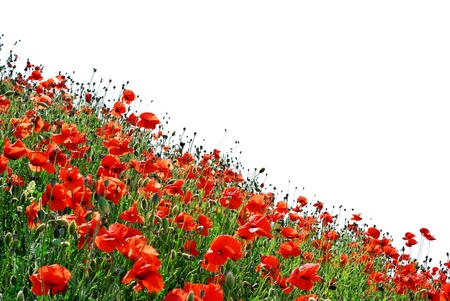 Isolated hill of poppies. Elemet of design. photo