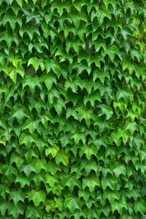 ivy wall: Texture of leafs. Nature composition. Element of design. Stock Photo