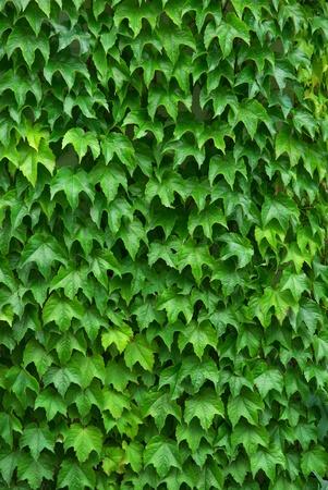 ivies: Trama di foglie. Composizione della natura. Elemento di design. Archivio Fotografico