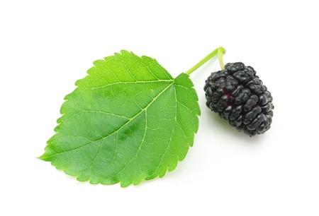 Isolated mulberry. Element of design. photo