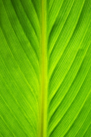 Texture of big green leaf. Nature composition. photo