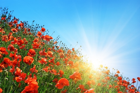 Poppies hill and clear sky. Composition of spring nature.  photo
