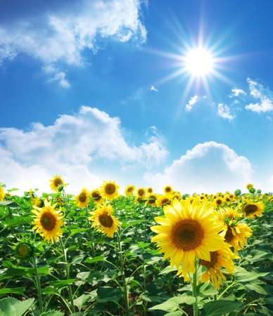 Big meadow of sunflowers. Design of nature. Stock Photo