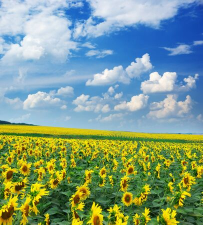 Big field of sunflowers. Composition of nature. photo