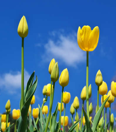 Tulips on sky background. Nature composition. photo