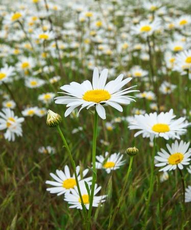 daisywheel: Macro of daisywheel. Nature composition.