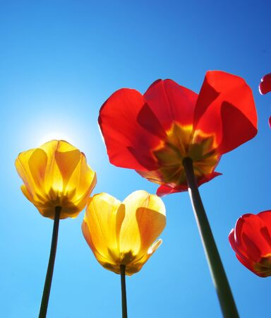 Tulips on sky background. Composition of nature. photo
