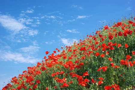 Poppies and sky. Nature composition. photo