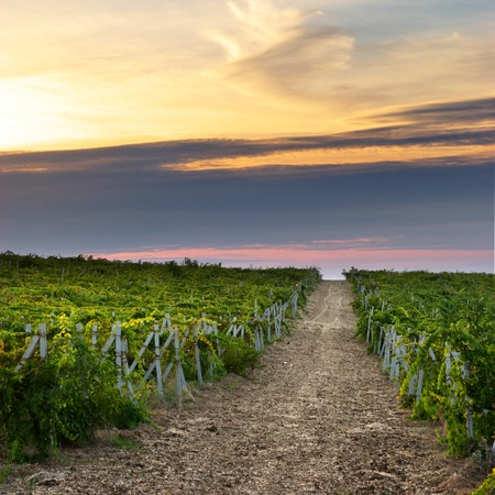 Landscape of vineyard. Nature composition.  Stock Photo - 9141366