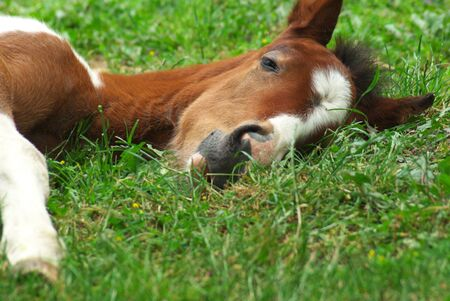 Sleeping foal on green meadow.  photo