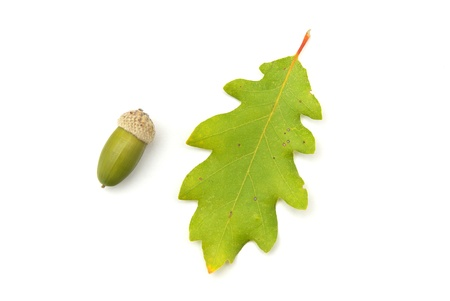 Isolated acorn. Element of design. photo