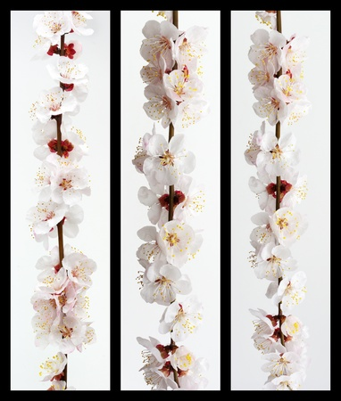 flor de durazno: Colecci�n de sakura rama. Elemento de dise�o. Foto de archivo