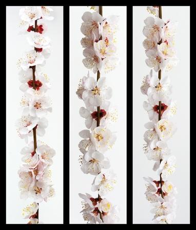 Collection of sakura branch. Element of design. photo