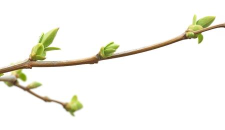 支店: 分離された枝および芽自然のデザイン。 写真素材