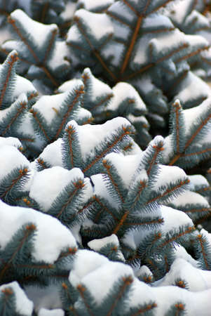 ramification: Spruce branches in snow. Nature composition. Stock Photo